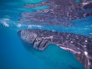Oslob,whaleshark