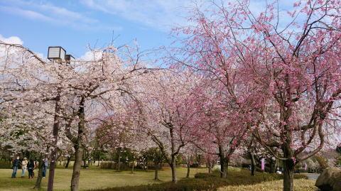 sakurasakura
