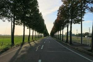 アメリカフウの並木道